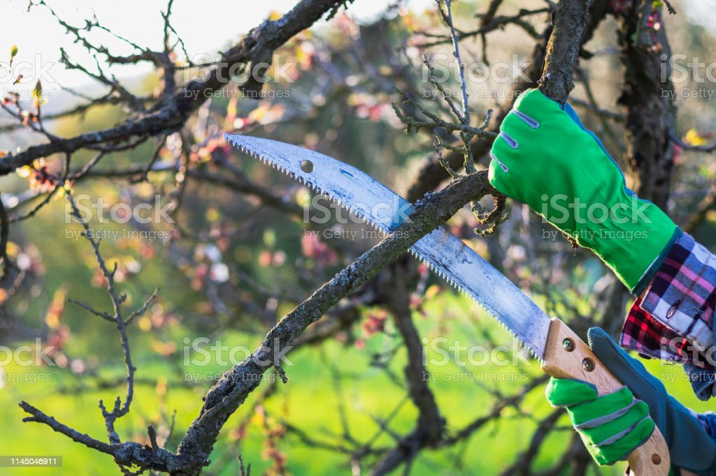 Cutting twig of tree. Farmer working in garden
