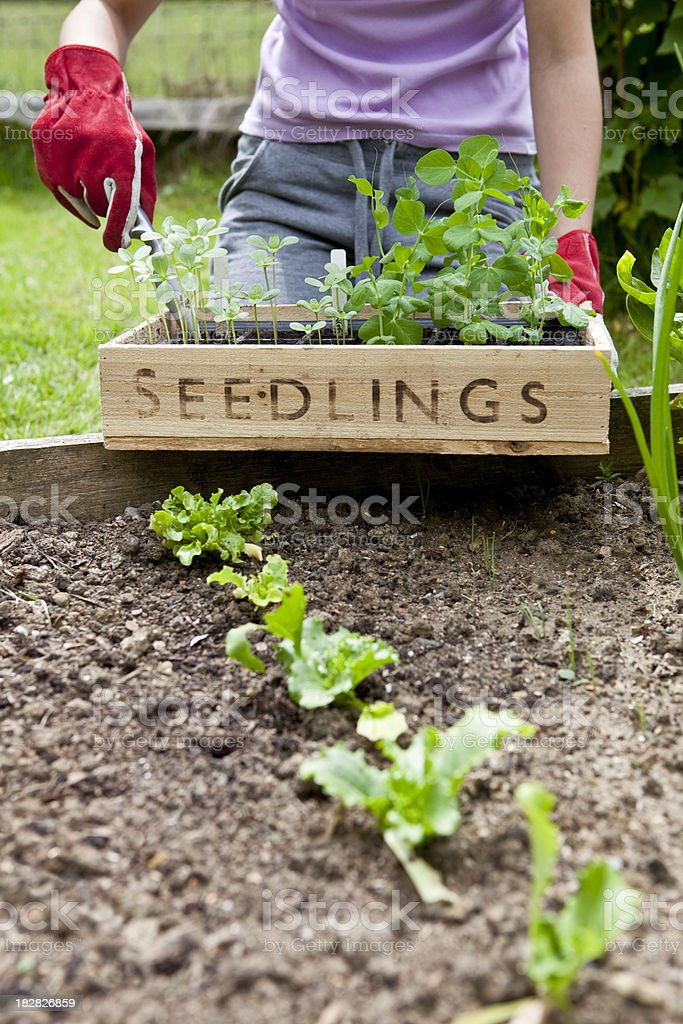 Gardener With Seedling Tray royalty-free stock photo