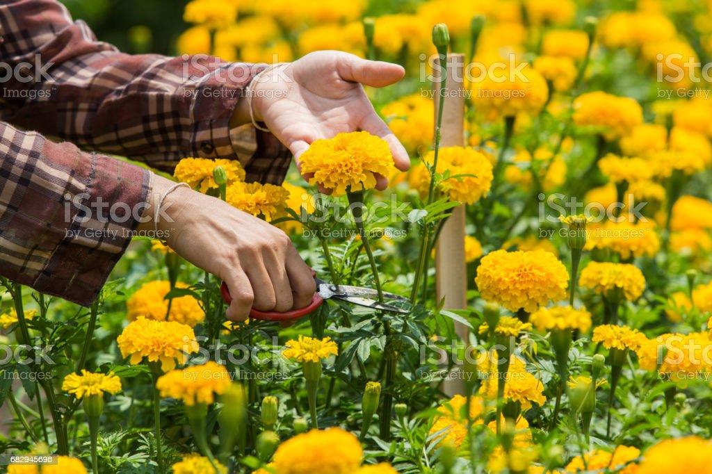 Gardeners are harvesting marigolds. royalty-free stock photo