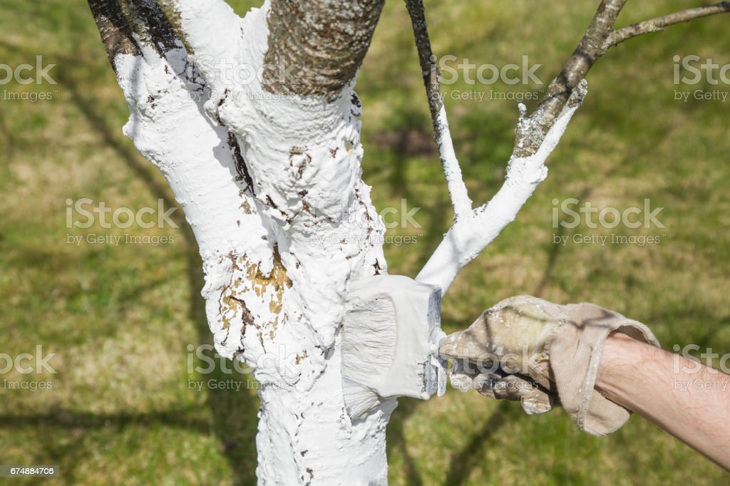 Gardener's hand in work's glove doing whitewashing a cherry tree in spring and autumn seasons. Protection of trees trunk from sun and bugs.