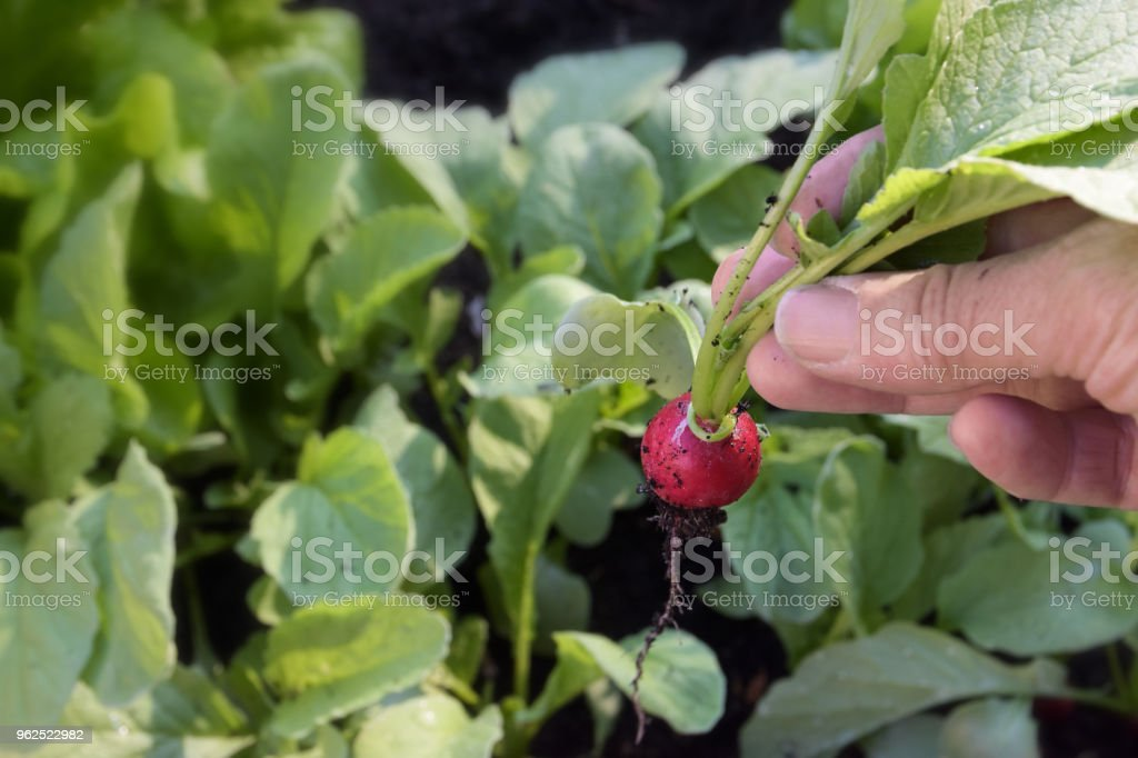 gardener's hand picks a radish in the vegetable garden, copy space in the background of green leaves - Royalty-free Agriculture Stock Photo