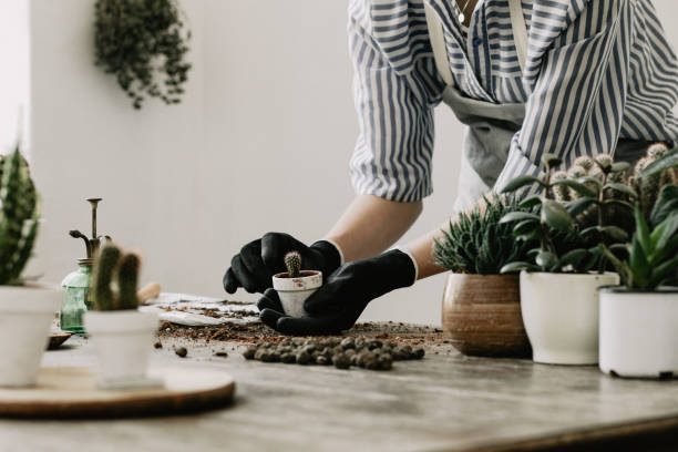 Gardeners hand planting cacti and succulents in white pots on the wooden table. Concept of home gardener. Concept of home gardener and garden. Planting flowers, cacti and succulents. potting stock pictures, royalty-free photos & images