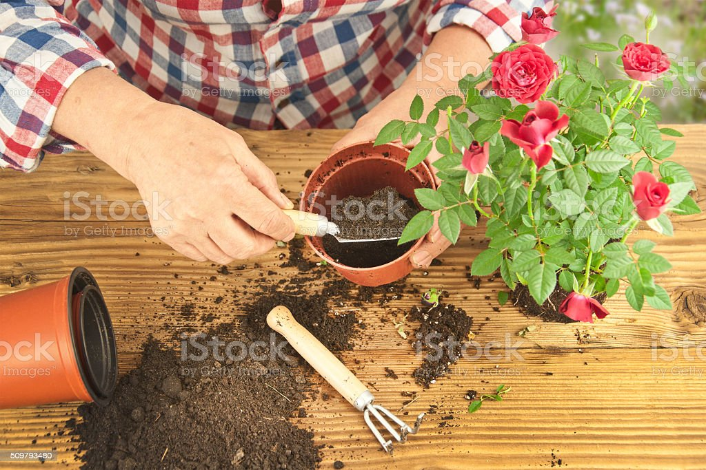 Gardeners hand planting flowers in pot with dirt or soil. stock photo