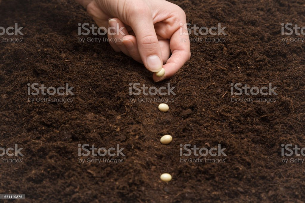 Gardener's hand seeding beans in the ground. Early spring preparations for the garden season. stock photo