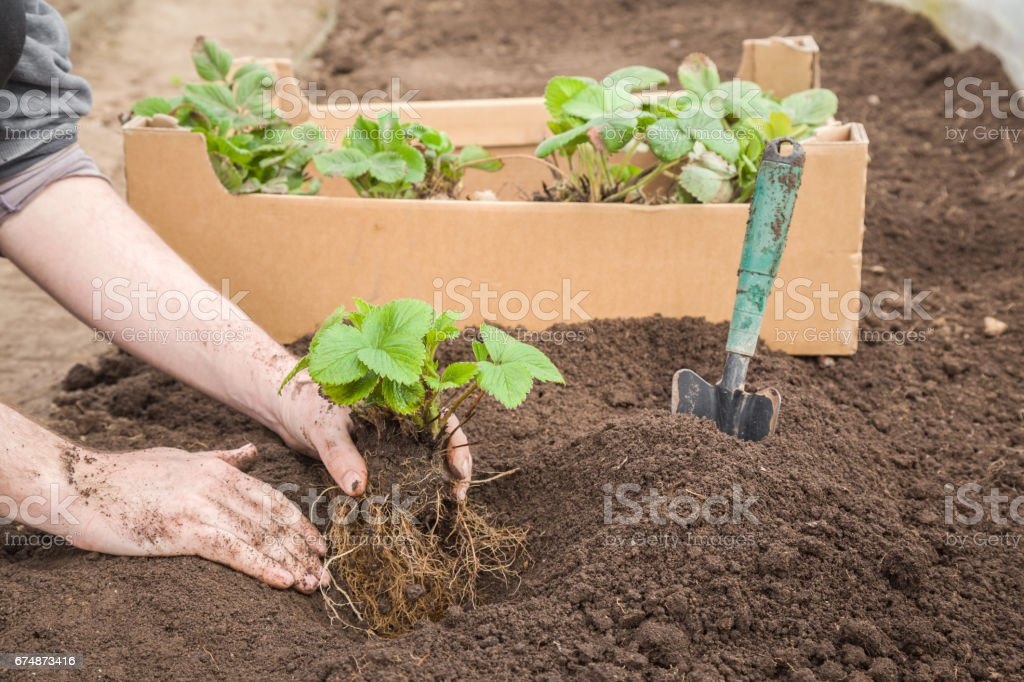 Gardener's hands holding beautiful strawberry plant with ground and roots in the greenhouse in spring. It is ready for planting. stock photo