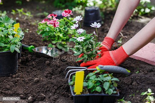 Gardeners hands planting flowers in the garden, close up photo.