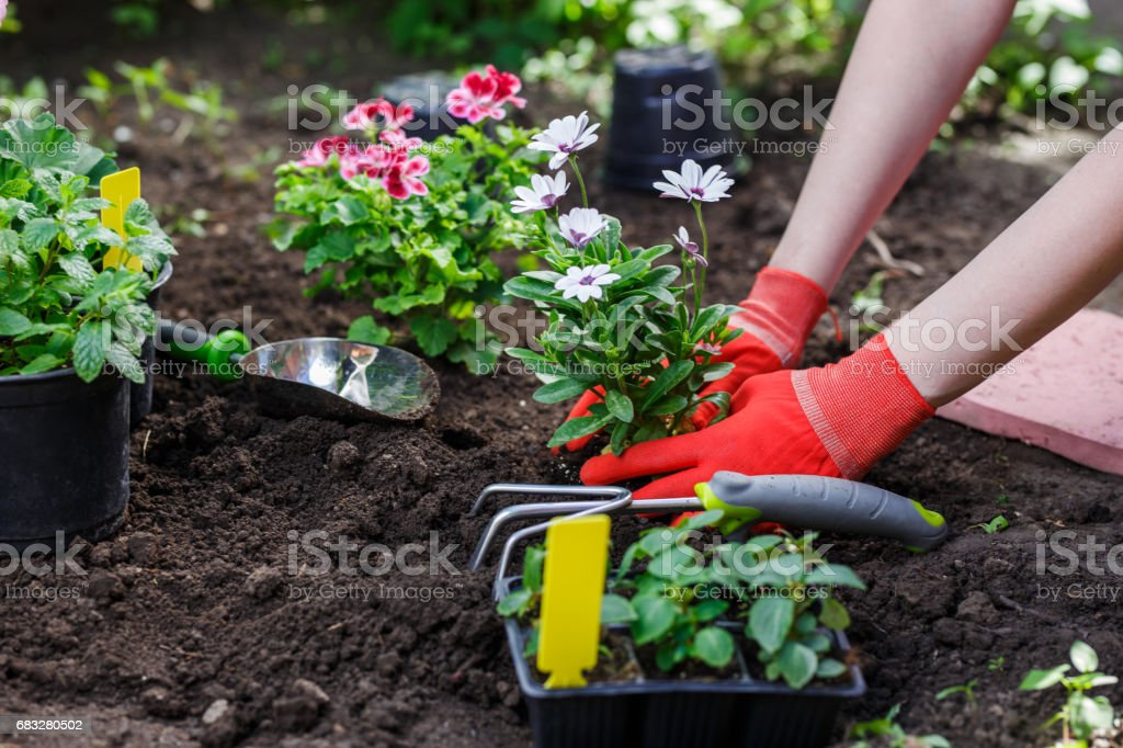 Gardeners hands planting flowers in the garden, close up photo stock photo