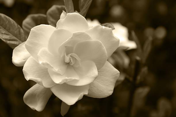 Gardenia Bloom in a Sepia Tone