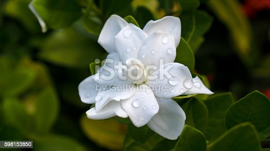 Gardenia Flower Blooming after Raining