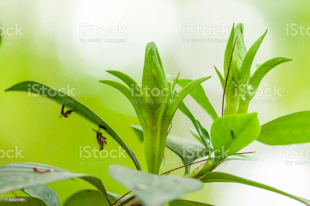 It\'s a photo of Gardenia Flower Bud.