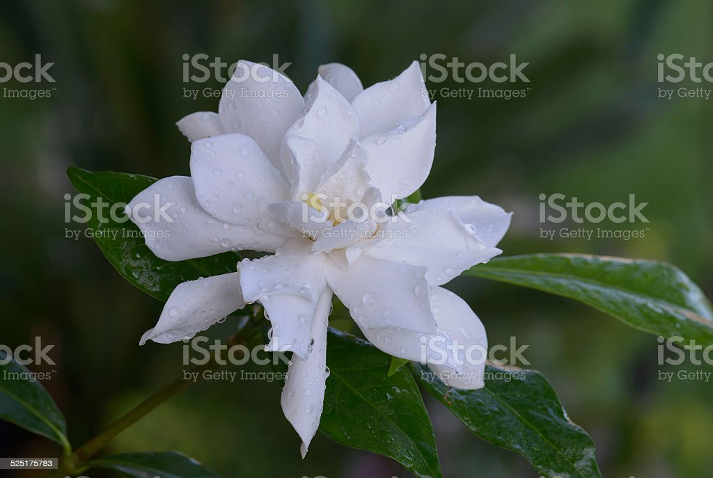 A single Gardenia flower in full bloom with leaves and out of focus...