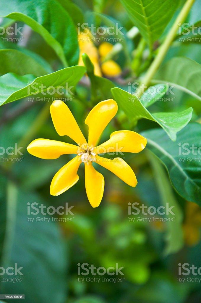 Gardenia flower garden flowers in macro