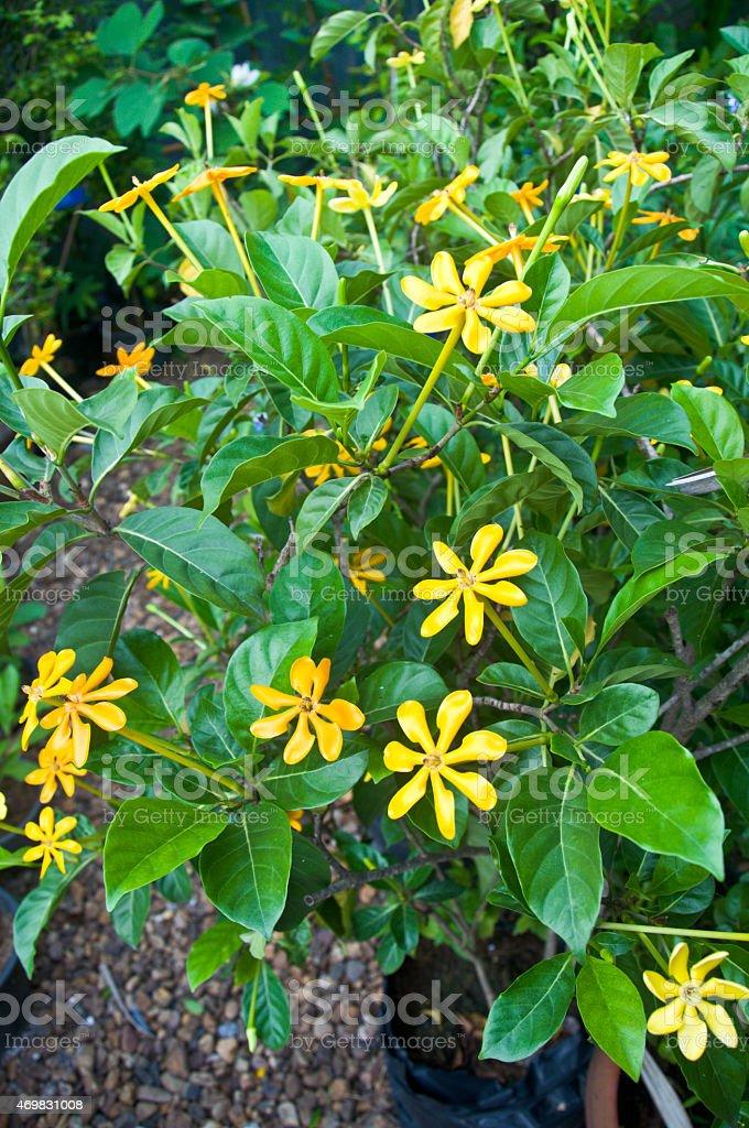 Gardenia carinata Wallich-yellow vlowers