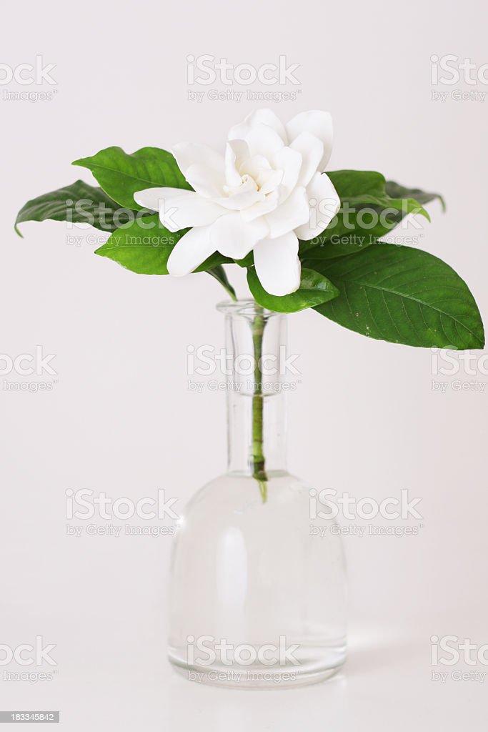 Beautiful gardenia in a vase.