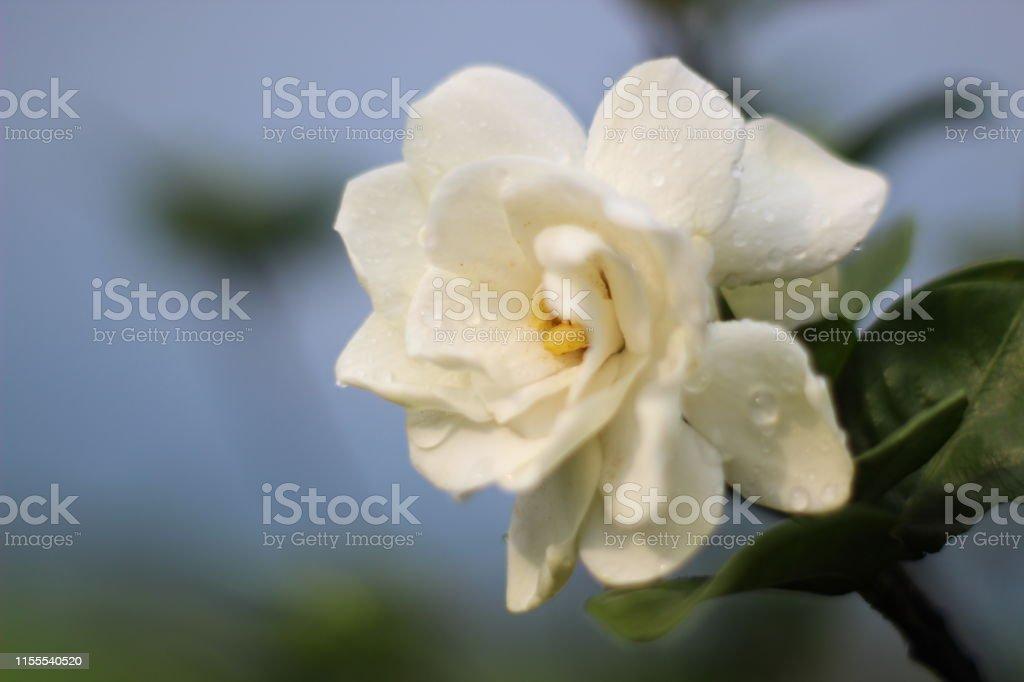 Growing beautiful white gardenia flower.
