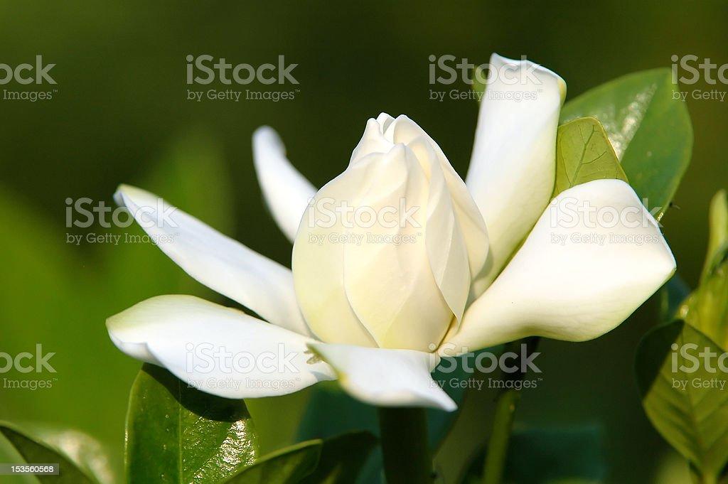 Gardenia jasminoides flower close up