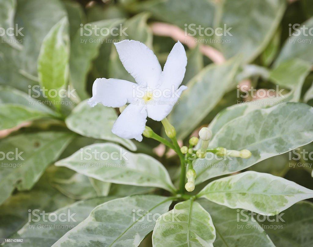White flower of Gardenia