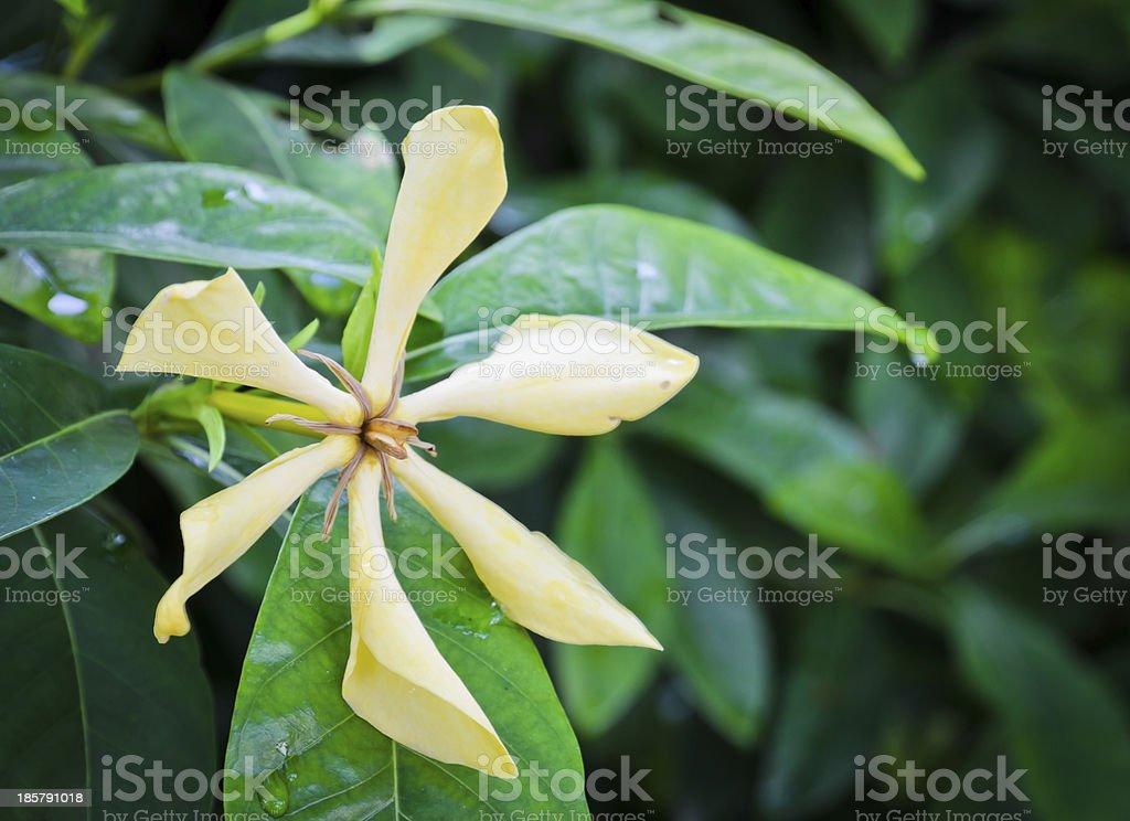 Yellow flower of Gardenia