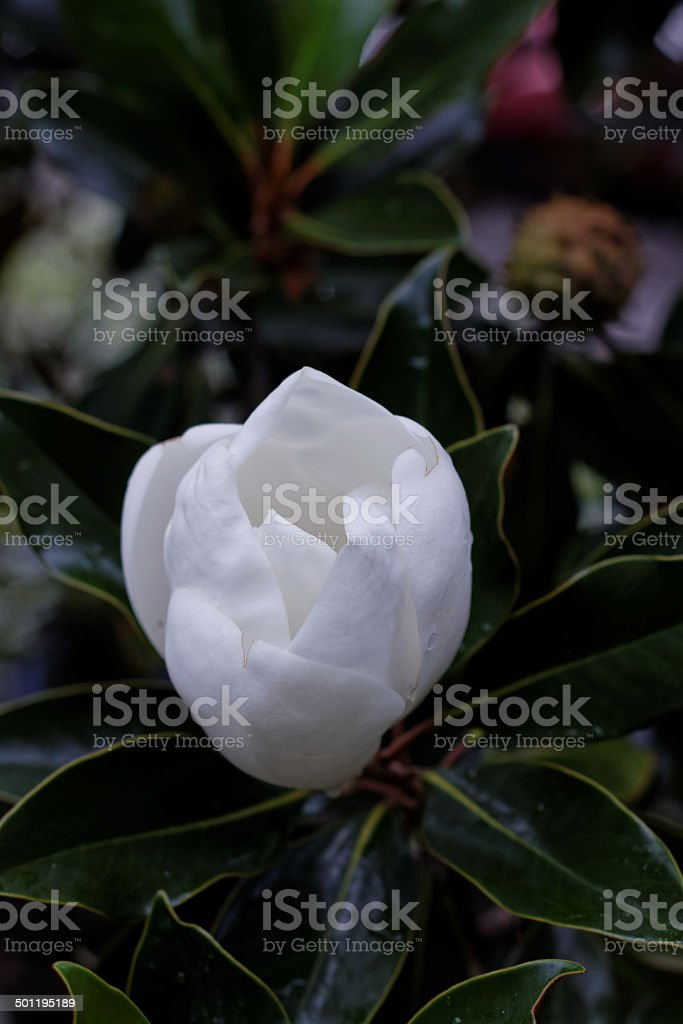 Gardenia, spring, central Florida, Getting ready for summer