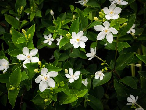 Gardenia Flowers Blooming