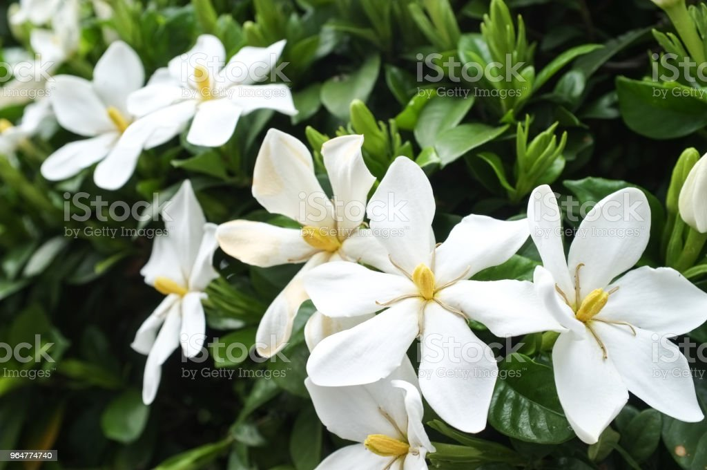 Gardenia flowers in bloom royalty-free stock photo