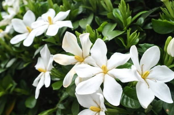 gardenia flowers in bloom - pręcik część kwiatu zdjęcia i obrazy z banku zdjęć