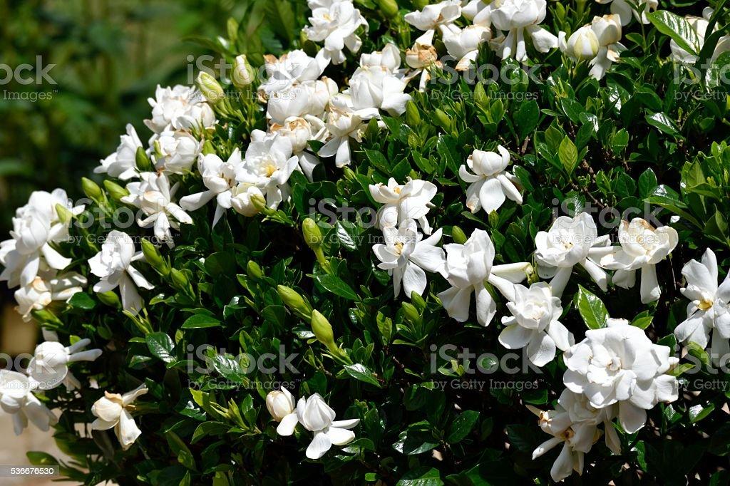 Gardenia bush flowers background