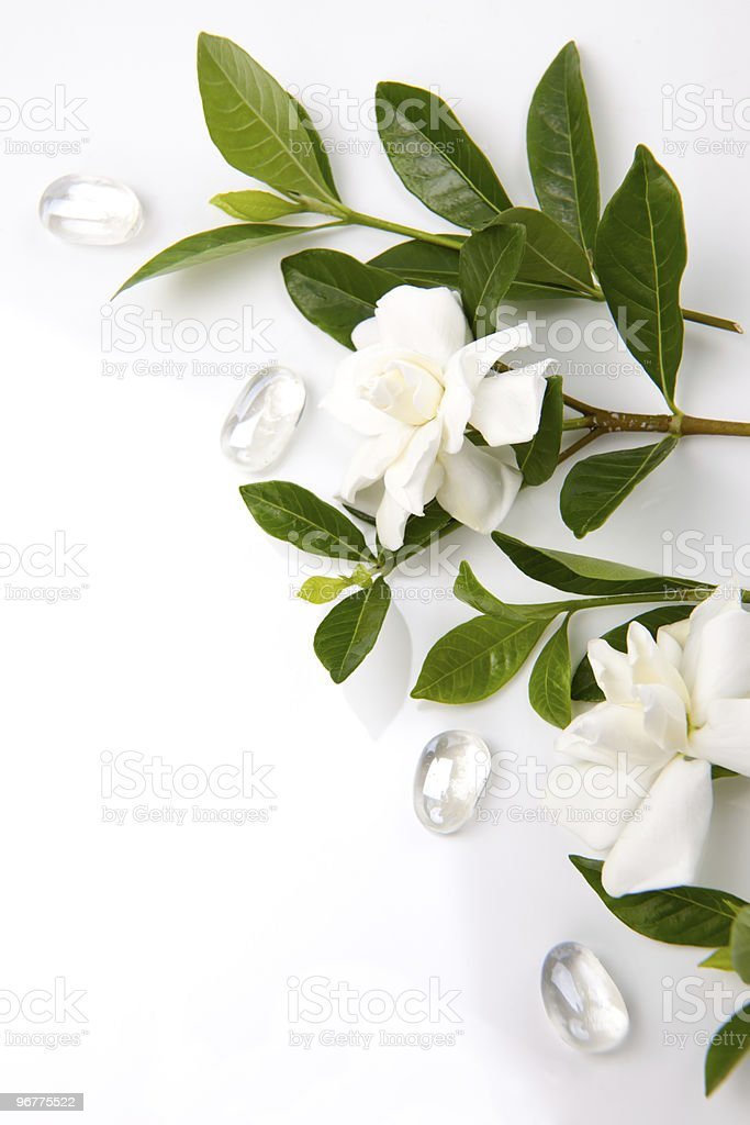 Gardenia flowers stock photo