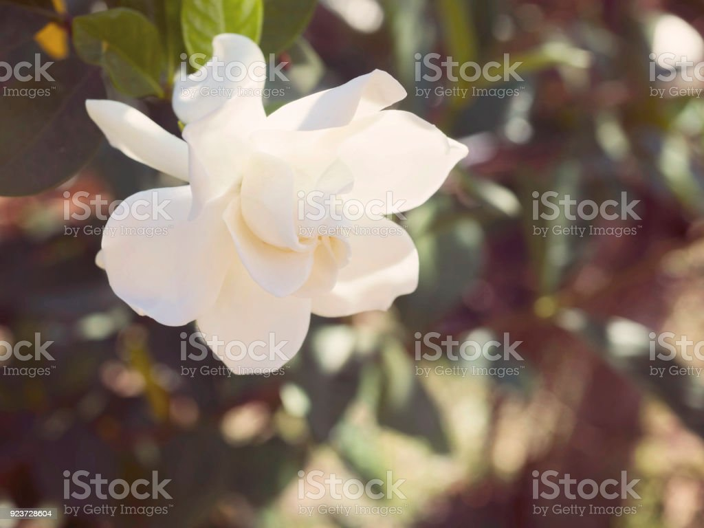 Gardenia jasminoides flower as known as cape jasmine flower blown by gardenia jasminoides flower as known as cape jasmine flower blown by the wind in the morning izmirmasajfo