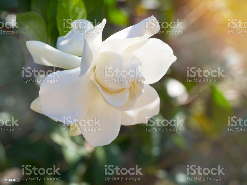Gardenia jasminoides flower as known as Cape Jasmine flower blown by...