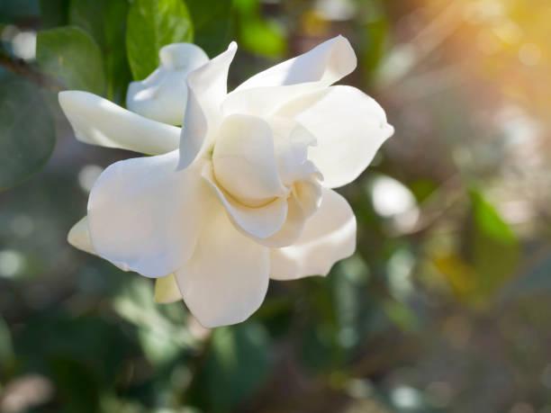 Royalty free white gardenia flower cape jasmine or jasminoides gardenia jasminoides flower as known as cape jasmine flower blown by the wind in the morning mightylinksfo