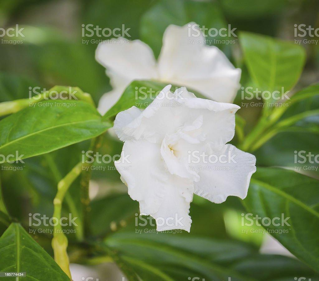 White flower of Gardenia jasminoides