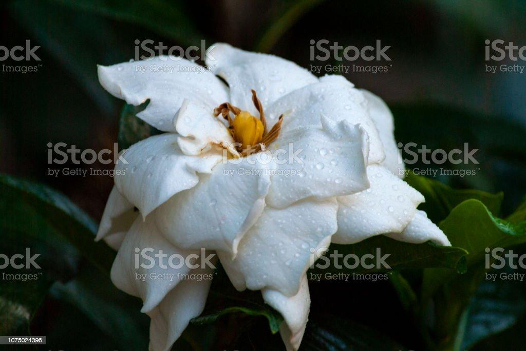 Gardenia jasminoides in Guatemala, Organic gardenia flower in garden...