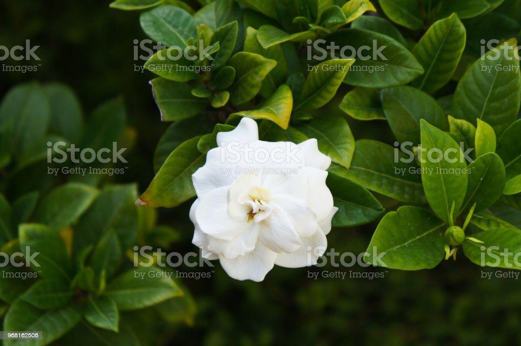 Gardenia jasminoides or gardenia or cape jasmine white flowers with...