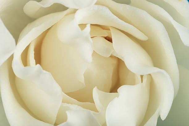 Gardenia – Foto