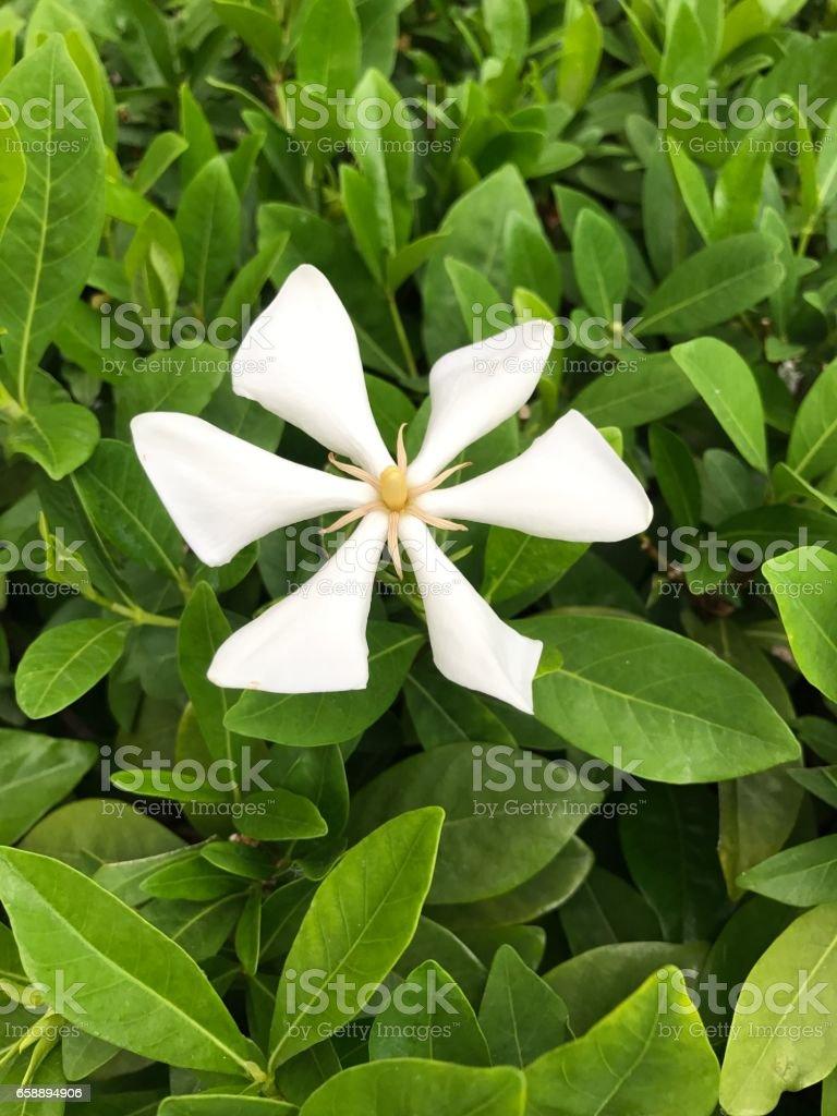 Gardenia vietnamensis or Vietnamese gardenia or Kailarsenia flower.
