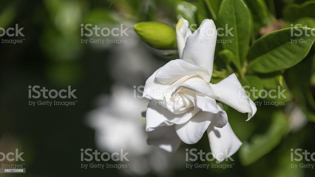 Gardenia, Winter Park, Orlando, Florida stock photo