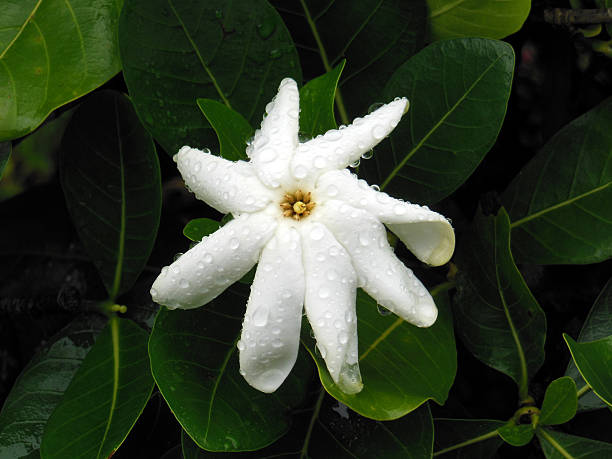 Gardenia avec pluie - Photo