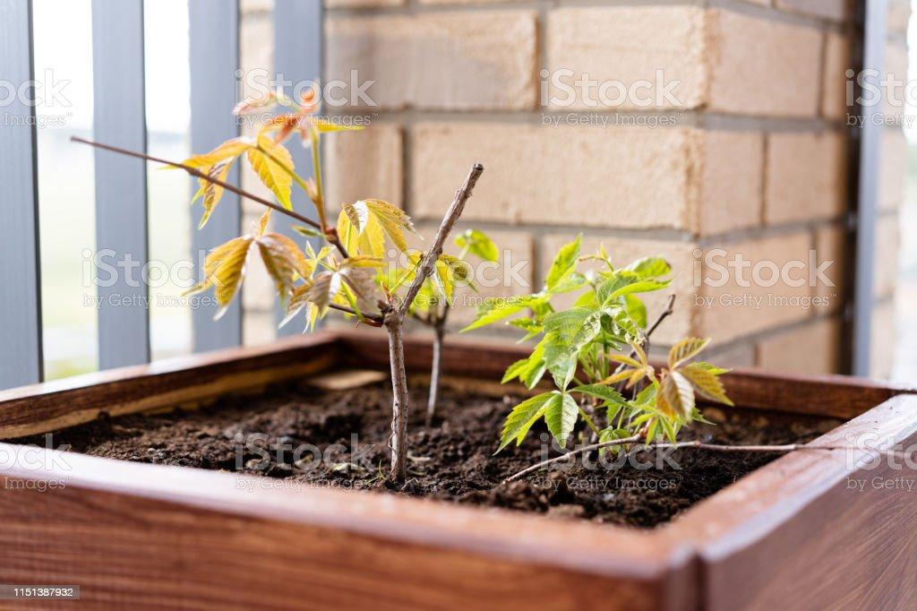 Jardinería Y Horticultura Cultivar Uvas Femeninas En Una