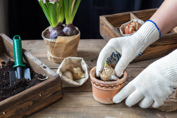 Gardening and planting concept. Woman hands planting hyacinth in ceramic pot. Seedlings garden tools tubers (bulbs) gladiolus and hyacinth flowers pink hyacinth. Toned and processing photo. stock photo