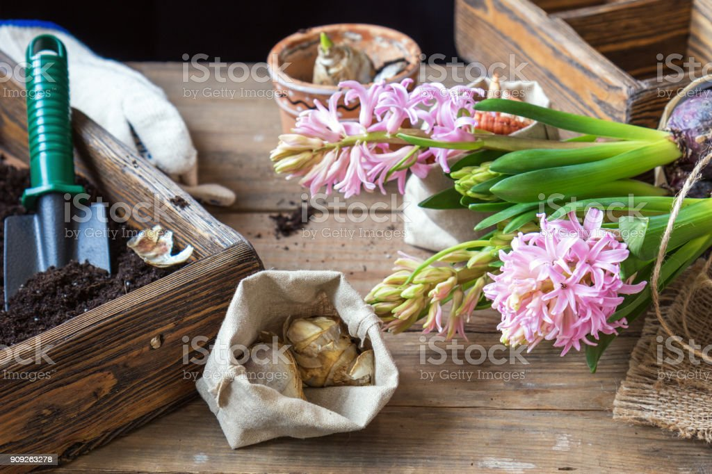 Gardening and planting concept. Woman hands planting hyacinth in ceramic pot. Seedlings garden tools, tubers (bulbs) gladiolus and hyacinth, flowers pink hyacinth. Toned and processing photo. stock photo