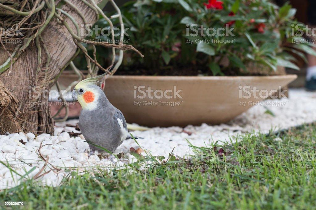 Gardening Cockatiel stock photo