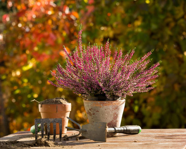Gardening equipment and plant on table Heather plant in flower pot and gardening equipment on wooden table in courtyard in autumn heather stock pictures, royalty-free photos & images