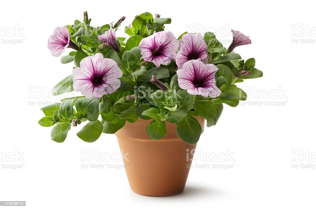 Gardening: Flower in Plant Pot stock photo
