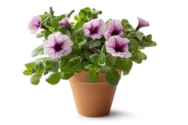 jardinagem: flor em vaso de - angiospermas imagens e fotografias de stock