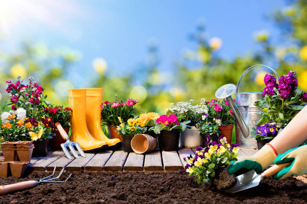 Gardening - Gardener Planting Pansy With With Flowerpots And Tools Potting Pansy In Dirty In Garden grounds stock pictures, royalty-free photos & images
