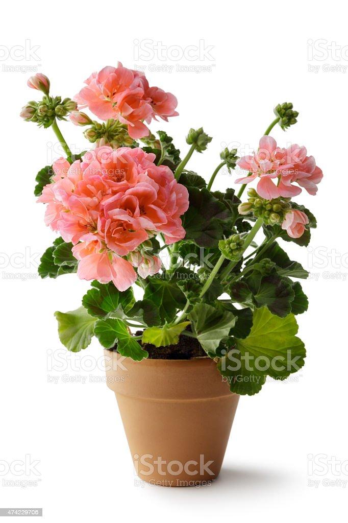 Gardening: Geranium in Plant Pot stock photo
