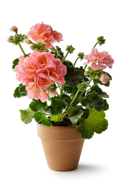 Gardening: Geranium in Plant Pot stock photo