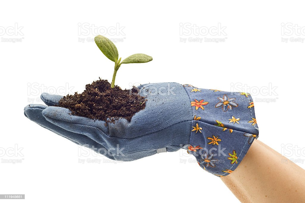 Gardening Glove Holding Baby Plant royalty-free stock photo