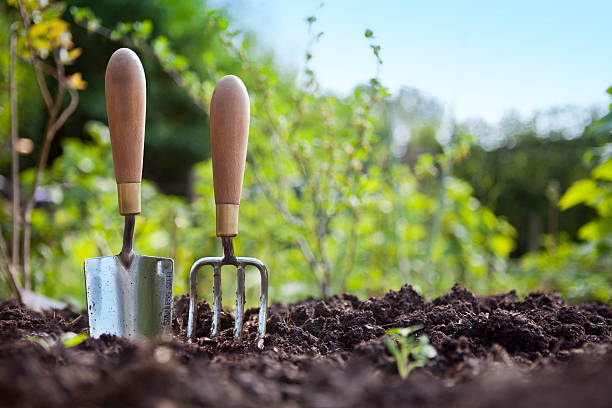 Gardening Hand Trowel and Fork Standing in Garden Soil Wooden handled stainless steel garden hand trowel and hand fork tools standing in a vegetable garden border with green foliage behind and blue sky. gardening stock pictures, royalty-free photos & images